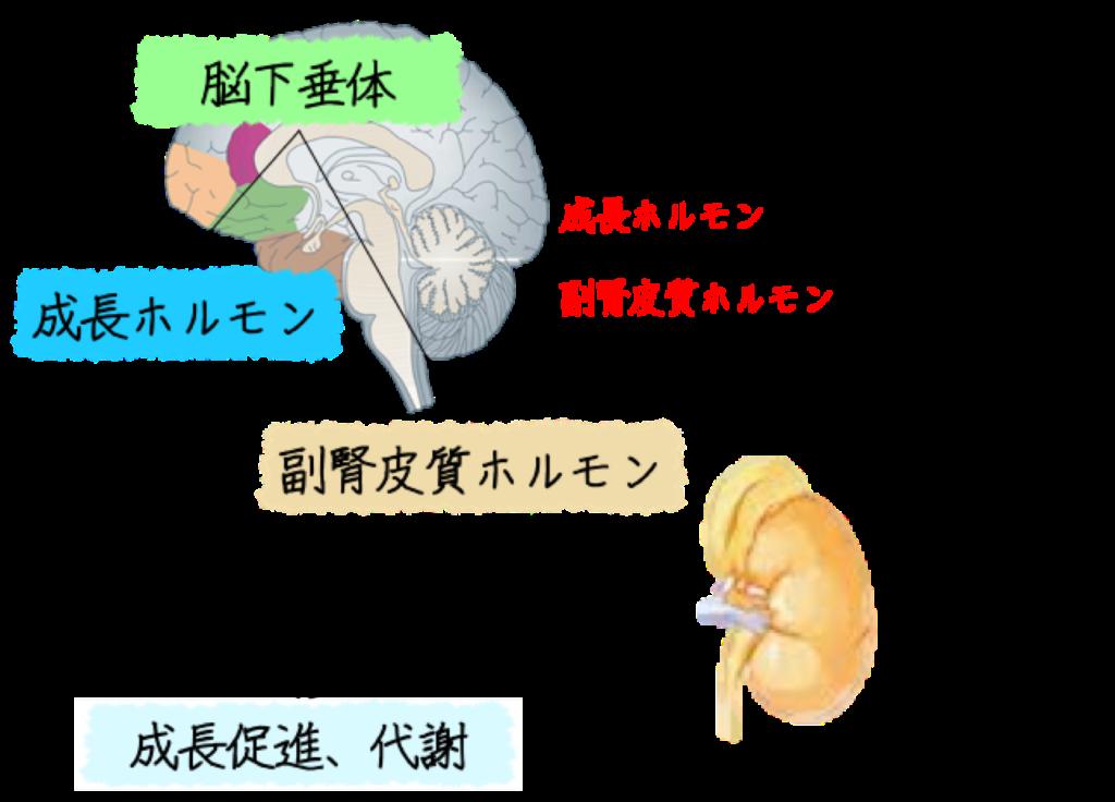 睡眠中に脳下垂体より、成長ホルモン、副腎皮質ホルモンが放出されることで代謝やエネルギー変換が向上します。